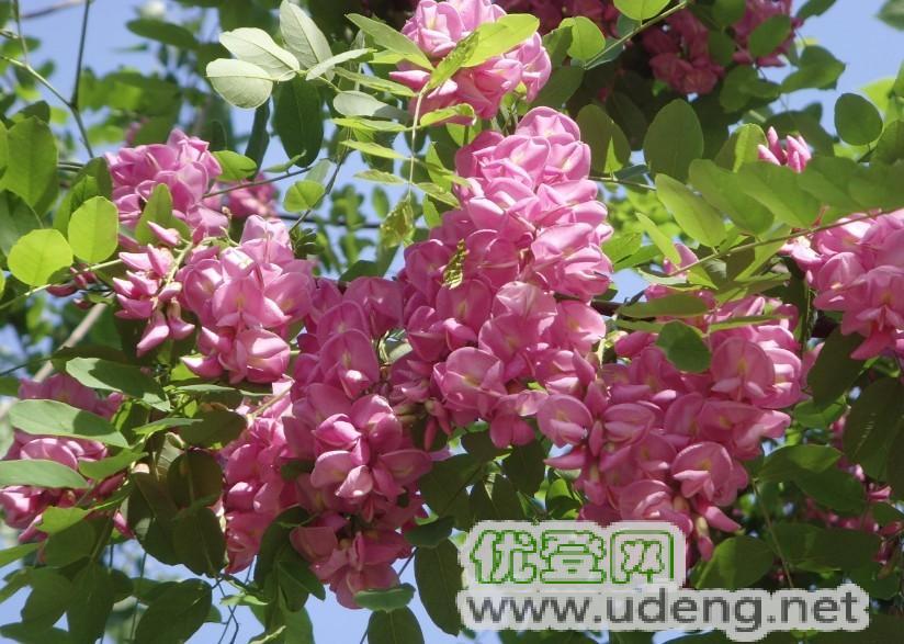 进口树种,西班牙,香花槐,绿化,树苗,种植