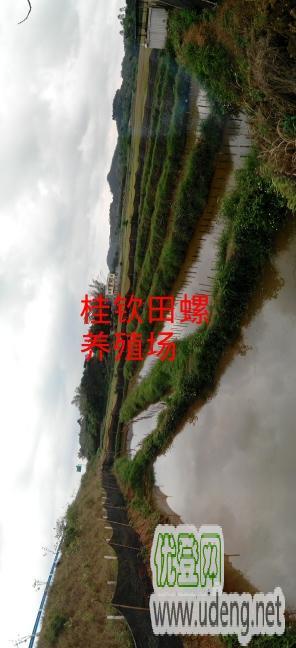 广西钦州市,桂钦田螺养殖场,田螺种苗场。