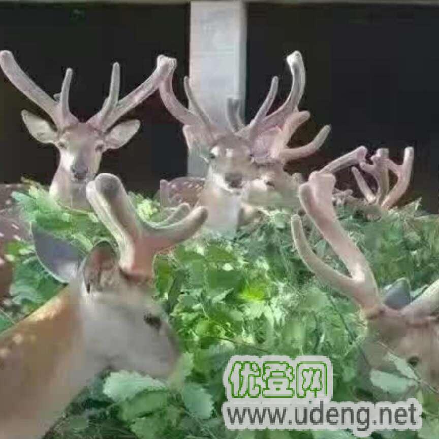 鹿产品,鹿茸,鹿鞭,鹿胎膏,保健品,鹿鞭膏,鹿筋,鹿模型,鹿血,鹿肉,