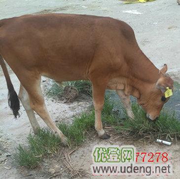 肉牛价格-肉牛犊养殖