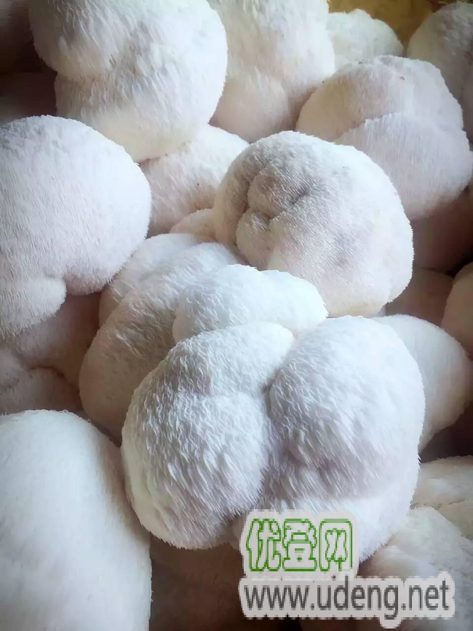食用菌,猴頭菇